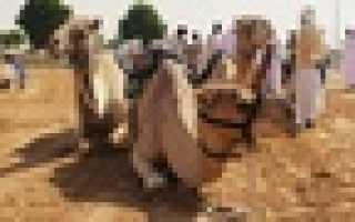 Верблюжьи бега. Спорт шейхов. Верблюжьи бега в Дубае — как посетить бесплатно излюбленные соревнования арабских шейхов. Какие дромедары участвуют в бегах