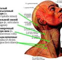 Поверхностная шейная петля. Большой ушной нерв. Образование спинномозговых нервов