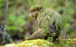 Новозеландский ночной попугай 6 букв сканворд. Какапо — нелетающий попугай из Новой Зеландии (26 фото). Новозеландский морской лев