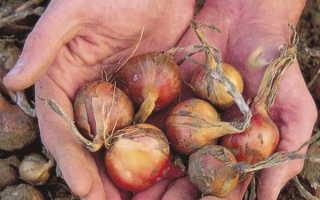 Лук шалот рассадой из семян. Лук шалот, выращивание и уход. Видео: лук-шалот — агротехника выращивания