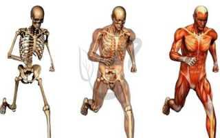 Функции плоских костей. Кости и их соединения