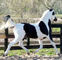 Кобыла пинто. История разведения лошадей пинто. Ценность на рынке
