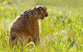 Охота на зайца осенью когда нет снега. Где искать лежку зайца. Основные виды охоты