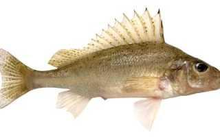 Рыба ёрш: описание и фото пресноводной жительницы. Ёрш — полезные свойства, калорийность и состав