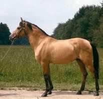 Породы: Азербайджанская лошадь. Лошадь породы делибоз Азербайджанские скакуны