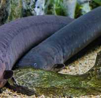 Рыба которая бьется током как называется. Привлекают ли рыб электрические и магнитные поля — От чего зависит клев. Как электрический угорь генерирует такое высокое электрическое напряжение
