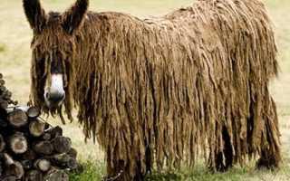 Осел Пуату (Baudet de Poitou), или мамонтовый осел. Осел пуату — самые необычные и редкие животные в мире