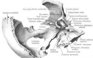 Медиальная клиновидная кость. Клиновидная кость
