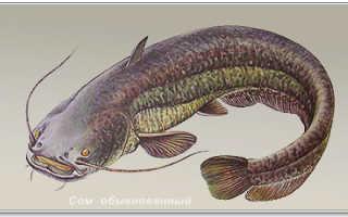 Биография сома. Рыба сом — самый крупный пресноводный хищник. Как размножается сом