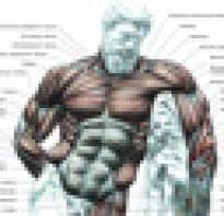 Каково строение скелетной мышцы. По отношению к суставам. Работа скелетной мускулатуры