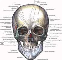Строение мышц лица косметология. Мышцы лица и эмоции. Сосудистая и нервная ткань лица
