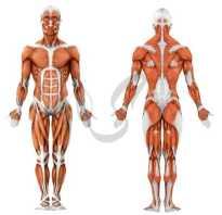 Гладкая мышечная ткань: особенности строения. Свойства гладкой мышечной ткани