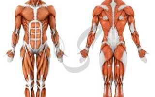 Какие свойства характерны для мышечной ткани. Строение и основные свойства мышечной ткани.