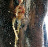 Воспаление лимфатических узлов у лошади. Что такое мыт у фермерской лошади. Особенности лабораторных и инструментальных методов диагностики мыта