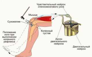 Особенности мышечных и сухожильных рецепторов, роль в формировании сухожильных рефлексов. Гиперрефлексия