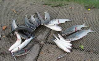 Рыба лобань полезные свойства. Рыба лобань — польза и вред. На что ловится лобан? Снасти для ловли лобана