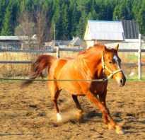 Латвийская упряжная. Лучшие упряжные лошади. История латвийской лошади