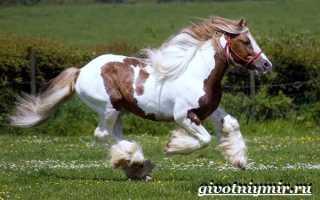 Белый шайр лошадь. Лошади Шайры (Shire) — самые крупные тяжеловозы на Земле. Отличительные особенности экстерьера