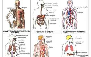 Как называется система органов которая осуществляет. Органы и системы органов