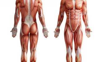 Схема строения скелетной мышцы. Классификация скелетных мышц. Функции мышечной ткани