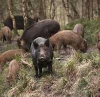 Охота на кабана на кукурузных полях. Советы охотникам. Охота на кабана в кукурузе – это надо знать