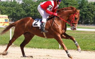 Датская лошадь. Породы лошадей: какие бывают? Английская скаковая арабского типа