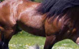 Ирландская лошадь. Цыганская упряжная порода (тинкер, ирландский коб). Достоинства и недостатки породы