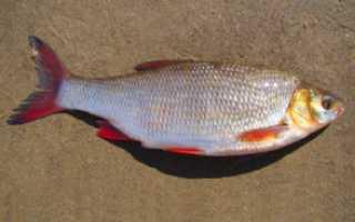 Рыба язь, ее отличие от голавля и где она обитает. В чем отличие сороги от красноперки