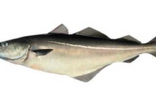 Сайда морская или речная рыба. Сайда: что это за рыба? Критерии выбора рыбы