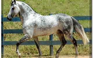 Серая в яблоках лошадь. Лошадь в яблоках. История замечательной породы