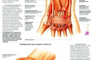Энциклопедия медицины анатомический атлас. Анатомия человека фото