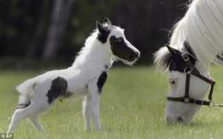 Миниатюрные лошади. Самая маленькая лошадь в мире — Тамбелина